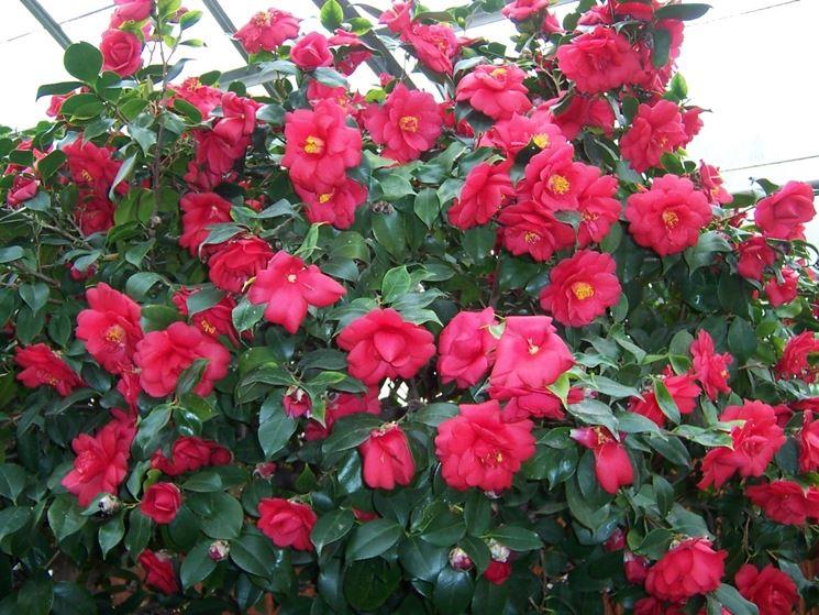 La camelia camellia japonica camellia japonica for Pianta camelia