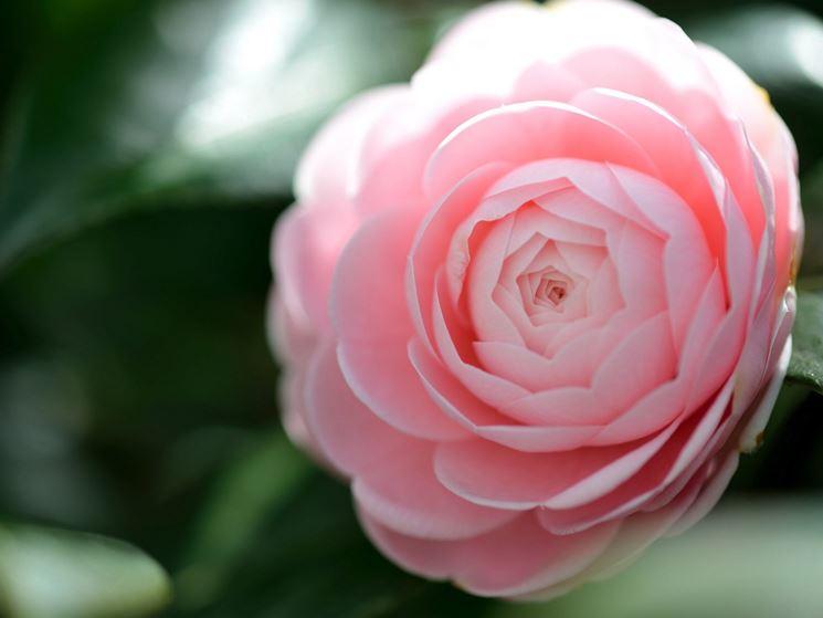 Coltivazione camelia camellia japonica camellia for Pianta camelia