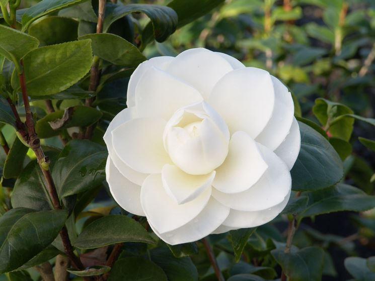 Coltivazione camelia camellia japonica camellia for Camelia pianta