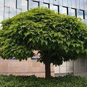 catalpa pianta