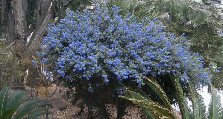 pianta di ceanoto
