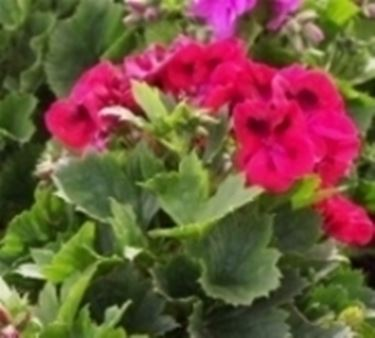 pelargonium macrantha