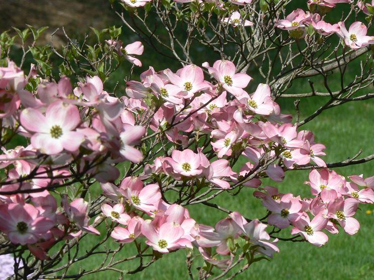 Corniolo da fiore