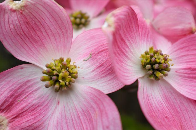 Corniolo da fiore cornus florida cornus florida for Arbusti ad alberello