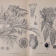 stramonio pianta
