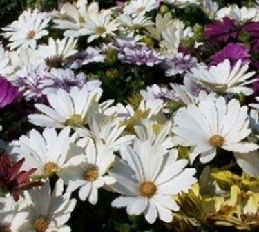 fiori da giardino giardino fiorito : Dimorphotheca: margherite di tutti i colori