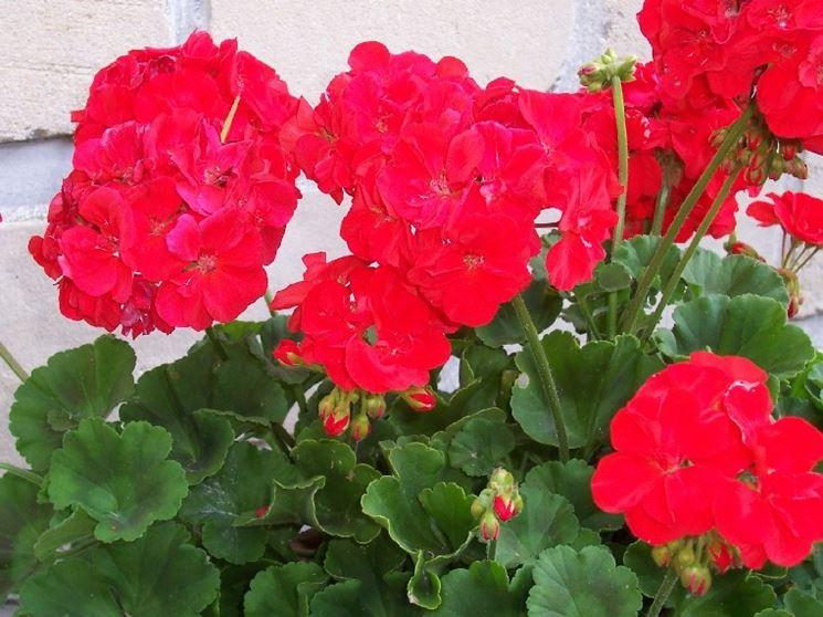 geranium witosch