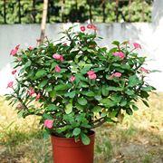 euforbia pianta