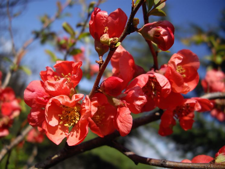 fiori chaenomeles