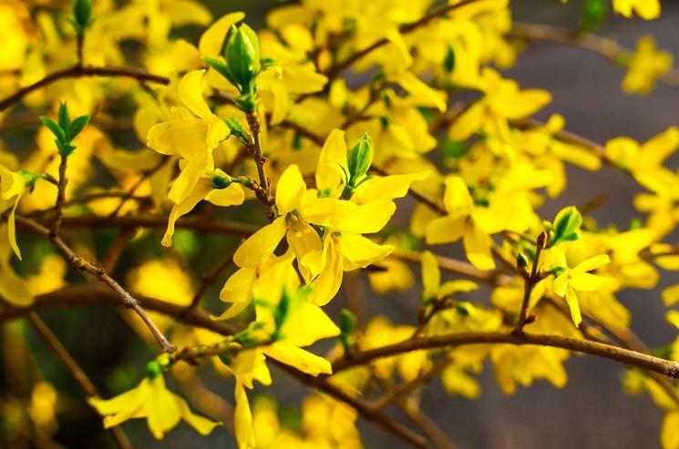 fiori di forsizia