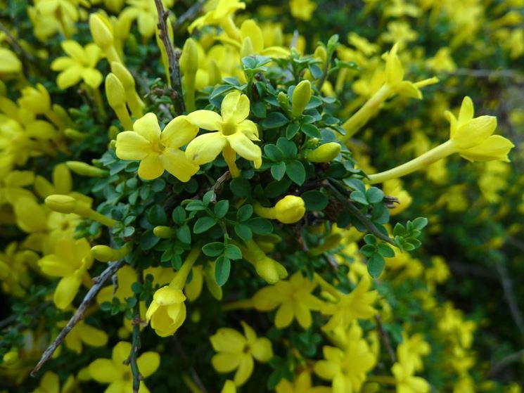 Gelsomino giallo - Jasminum nudiflorum - Piante da Giardino - Gelsomino di San Giuseppe ...