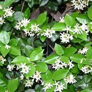 fioritura gelsomino