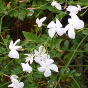 gelsomino fioritura