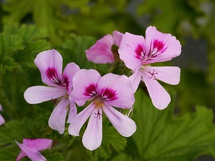 Pelargonium vitifolium