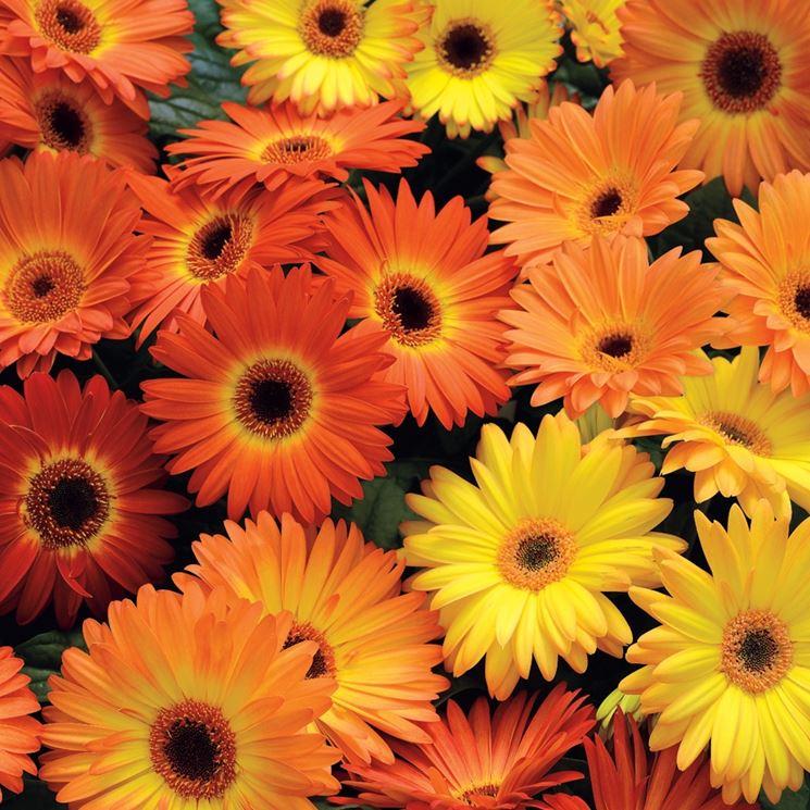 fiori gerbera