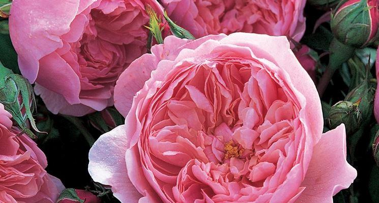 rose inglesi piante da giardino rose inglesi arbusti