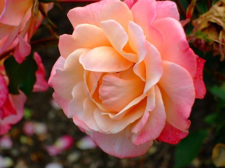 Rose inglesi piante da giardino rose inglesi arbusti for Rose piante