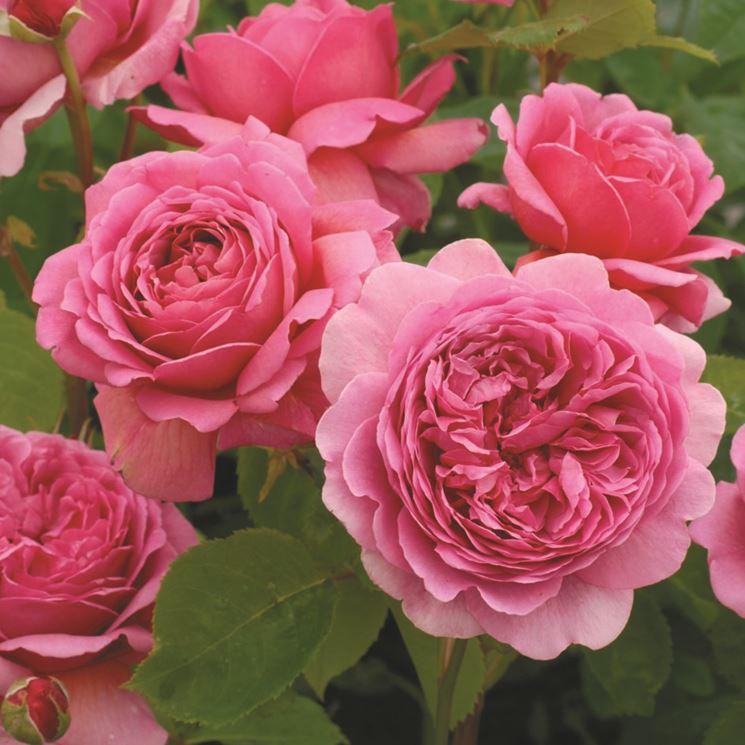Rose inglesi piante da giardino rose inglesi arbusti for Rose da giardino