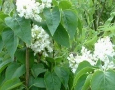 Lill syringa vulgaris syringa vulgaris piante da for Arbusti profumati da giardino