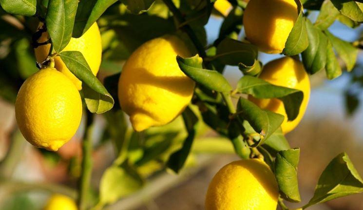 Coltivazione limone citrus limon citrus limon piante for Coltivare limoni