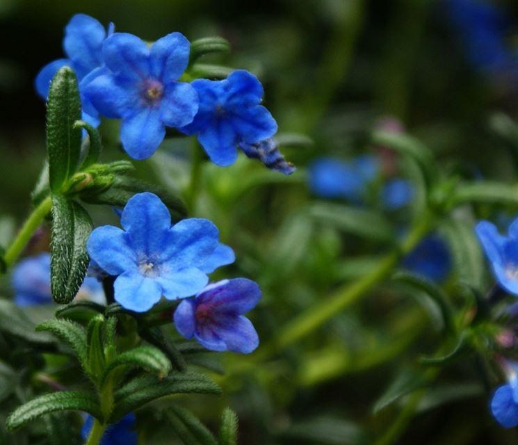 Litodora lithodora lithodora perenni litodora for Albero con fiori blu