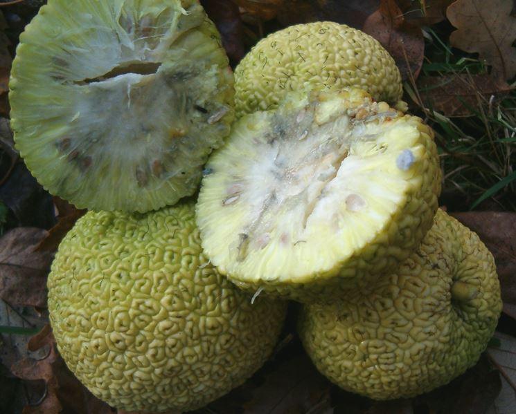 Maclura frutto