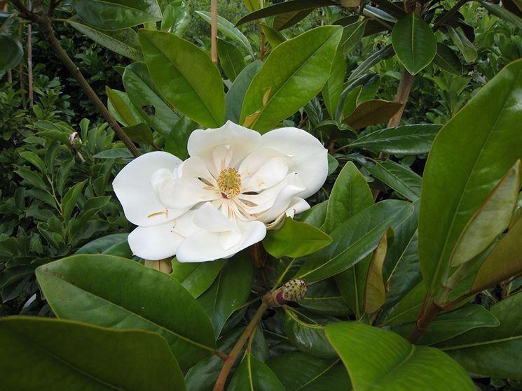 Magnolia magnolia magnolia piante da giardino - Grandi alberi da giardino ...