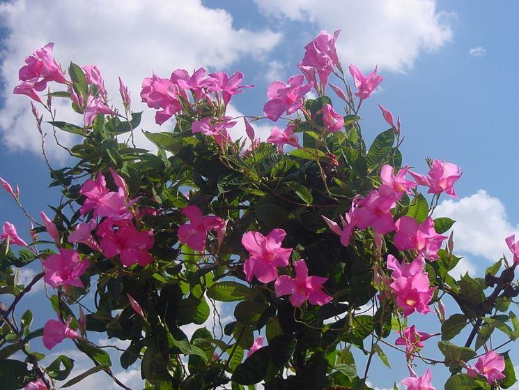 Mandevilla pianta velenosa