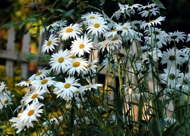 Chrysantheum maximum