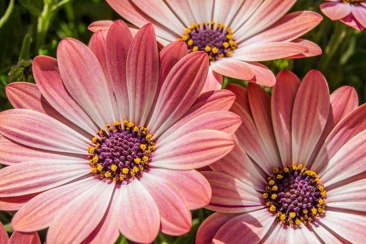 Il genere comprende una settantina di specie perenni o annuali originarie  dell\u0027Africa meridionale e dell\u0027Arabia. I fiori del raggio vanno dal giallo