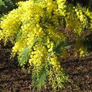 Coltivare la mimosa acacia dealbata piante da giardino for Acacia albero