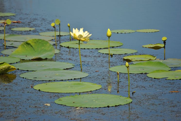 piantare lotus