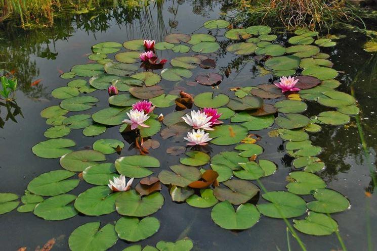 semi fiori di loto