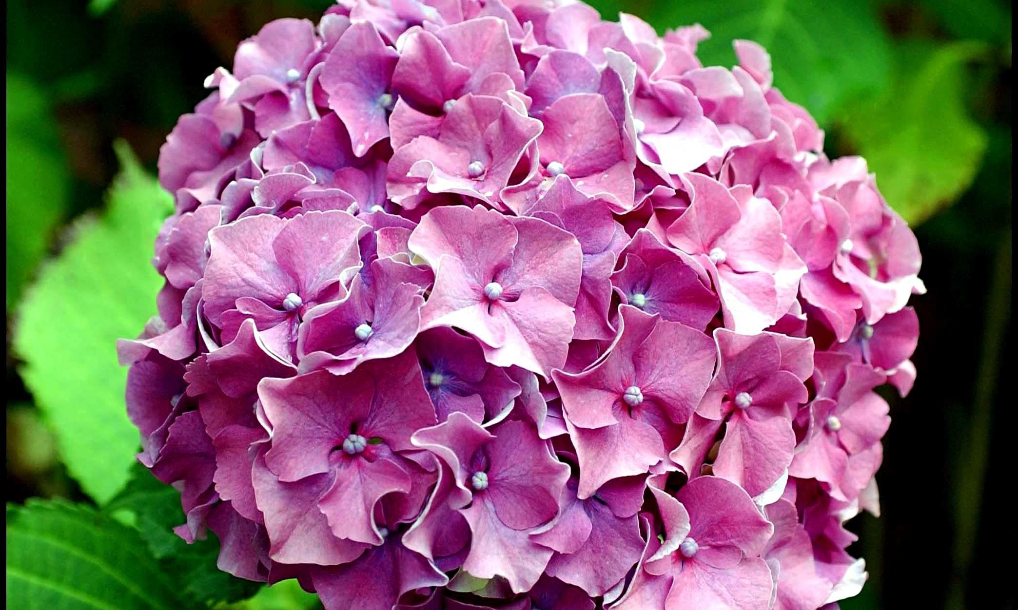 Ortensia piante da giardino for Ortensie in vaso