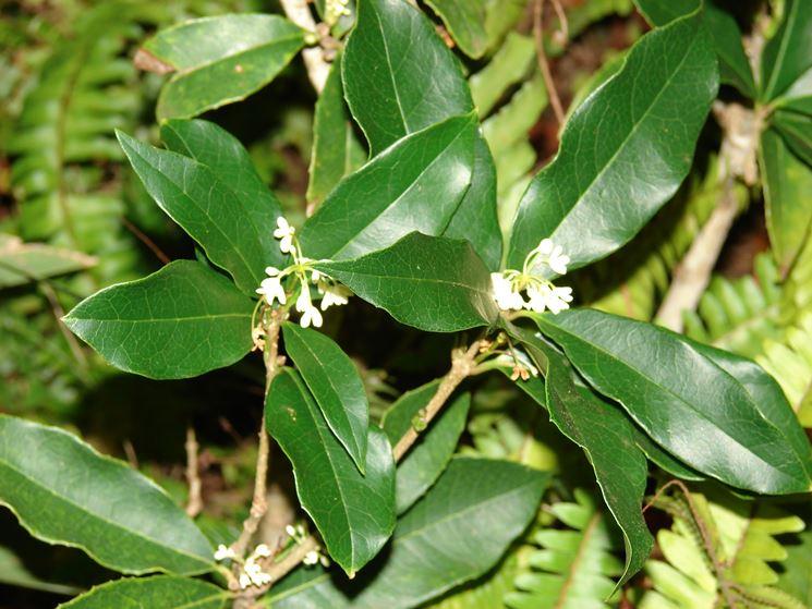 osmanto osmanthus fragrans osmanthus fragrans piante