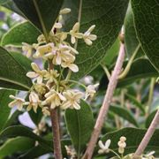 osmanthus fragrans prezzo
