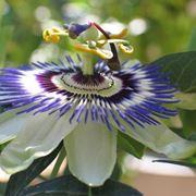 Passiflora fiore
