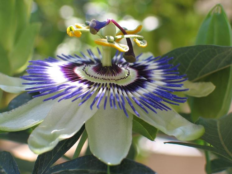 passiflora and its anxiolytic and anticonvulsant effects. Black Bedroom Furniture Sets. Home Design Ideas