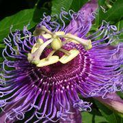 la passiflora
