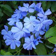 gelsomino azzurro