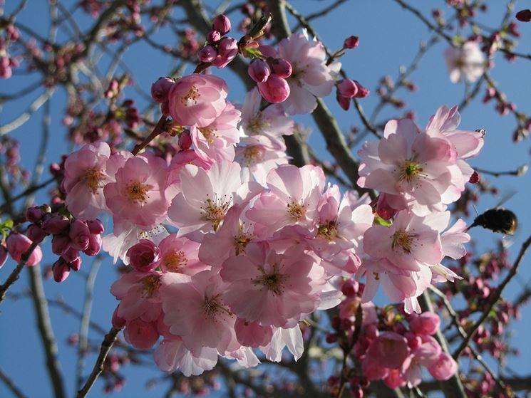 Pruno prunus ssp prunus ssp piante da giardino for Arbusti ad alberello