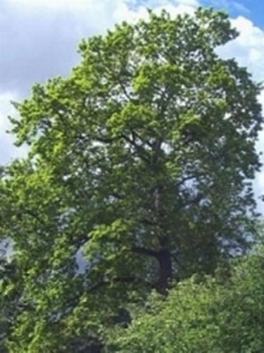 Quercia quercus quercus alberi quercia quercus for Alberi simili alle querce
