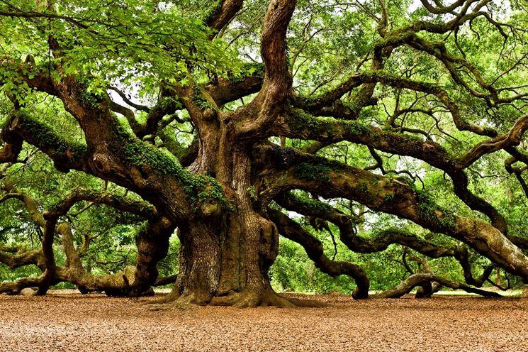Quercia - albero