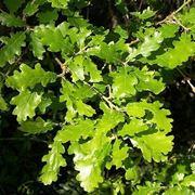 foglia quercia
