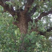 foglie di quercia