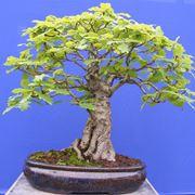 quercia bonsai