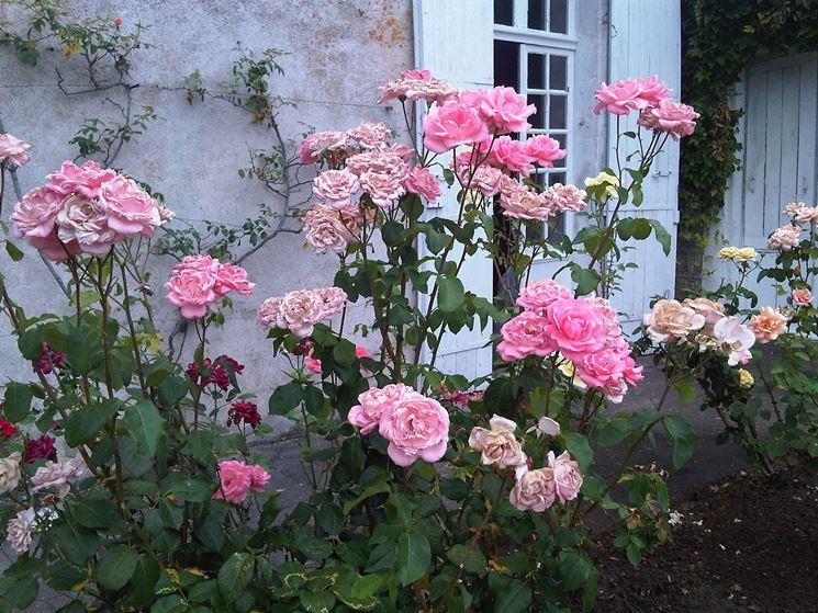 rosa rugotida
