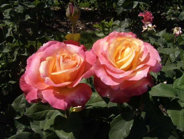 rosa commandant beaurepaire