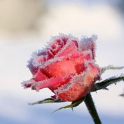 rosa invernale
