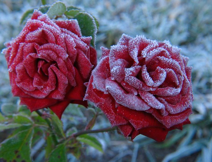 Le rose in inverno rosa piante da giardino rosa for Rose piante